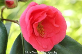 Camellia Japonica 'Blood of China' Photo by Lia Chang