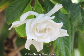 Gardenia. Photo by Lia Chang