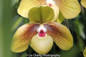 The Paphiopedilum or Lady's Slipper. Photo by Lia Chang