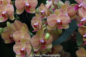 Moth Orchid Phalaenopsis Photo by Lia Chang