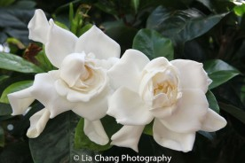 Gardenias. Photo by Lia Chang