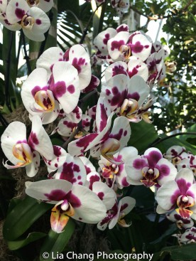 Phalaenopsis Ganlin Fairy Photo by Lia Chang
